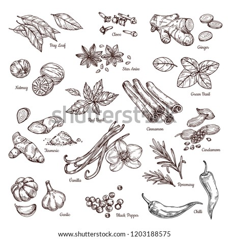 Hand drawn spices. Vanilla and pepper, cinnamon and garlic. Sketch kitchen herbs isolated vector set. Illustration of ingredient herb, garlic and spice for cooking