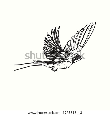 Hand drawn swallow bird flying . Ink black and white drawing. Vector illustration Photo stock ©