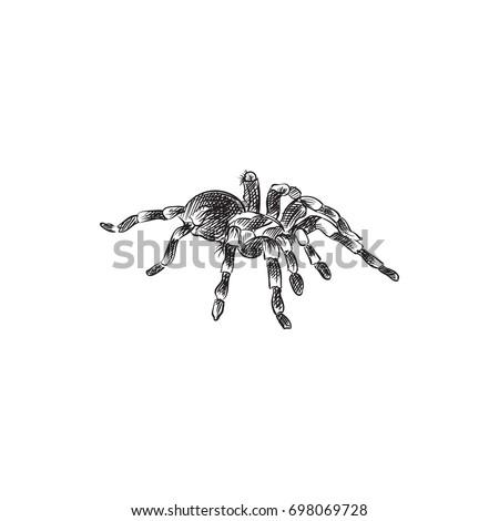 hand drawn tarantula sketch