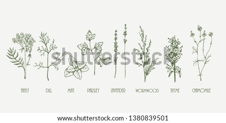 Hand drawn vector botanic set. Dill, mint, lavender, chamomile, barberry, parsley