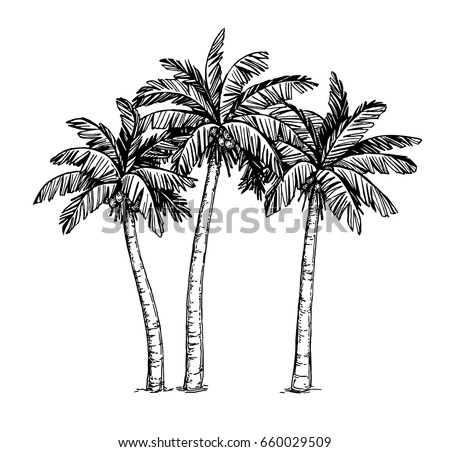 Hand drawn vector illustration of coconut palm trees. Isolated on white background. Ink sketch. Vintage style.