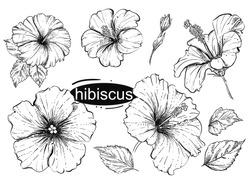 hand drawn vector illustration set of flowers hibiscus, leaf. sketch.