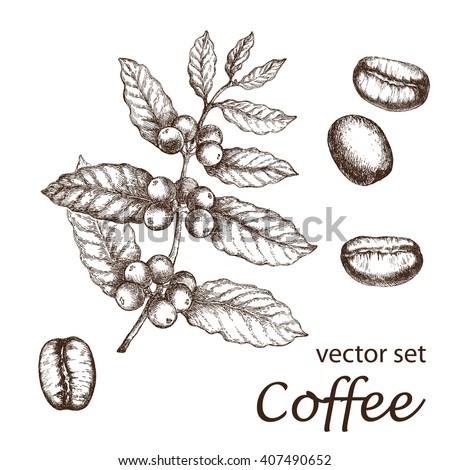hand drawn vintage coffee plant