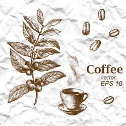 Hand drawn vintage coffee plant. Vector illustration of coffee.