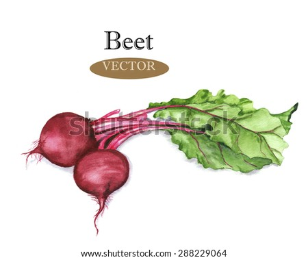 Hand drawn watercolor illustration of red beet with green leaves isolated on the white background in vector.