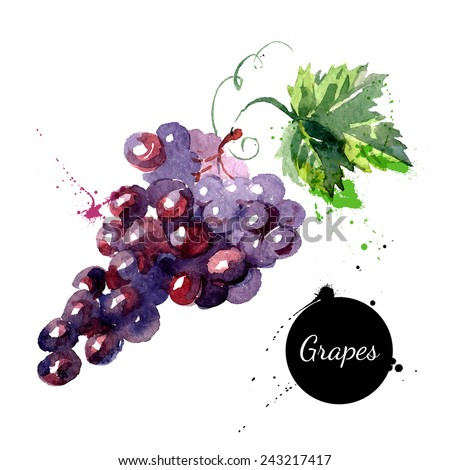 Hand drawn watercolor painting on white background. Vector illustration of fruit grapes