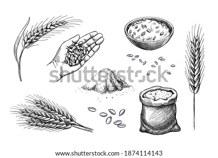 Hand drawn wheat. Cereal spikelets barley in hand, rye in bag, Wheat ear spikes and seed. Food sketch. Grains plants in bag. Vector engraving illustration.