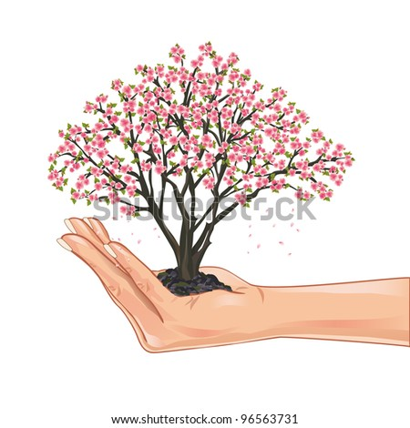 Hand holding a sakura blossom, japanese cherry tree, isolated on white background