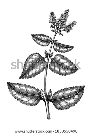 Hand sketched Mint botanical illustration with leaves and flowers. Peppermint - hand-drawn medical herbs and spices. Engraved style herbal plant on white background. Healthy tea ingredients Foto stock ©