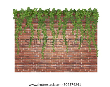 hanging down ivy shoots on the