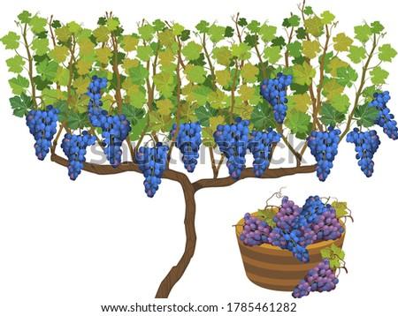 harvest time grape vine plant