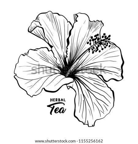 Hawaiian Hibiscus Fragrance Flower or Mallow Chenese Rose. Black and White Flora and Isolated Botany Plant with Petals. Tropical Karkade or Bissap Herbal Tea, Crimson Flora. Blossom and Nature Theme. - Shutterstock ID 1155256162