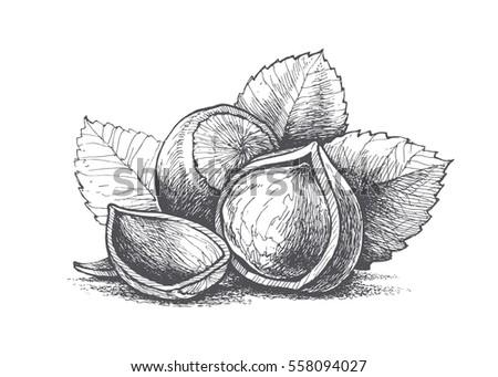 hazelnut hand illustration, vector image, retro style