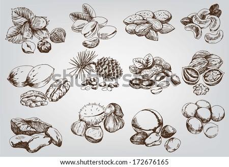 hazelnuts. set of vector sketches