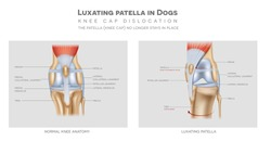 Healthy and unhealthy dog's knee joint, the medial luxating patella or knee cap dislocation illustration.