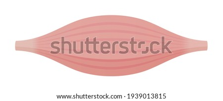 Healthy muscle vector illustration ( white muscle ) ストックフォト ©