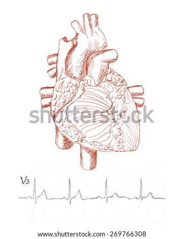 heart anatomy and human