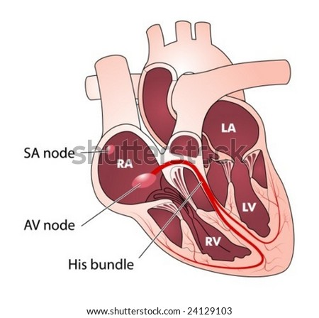 conducting system of heart. Heart conducting system -