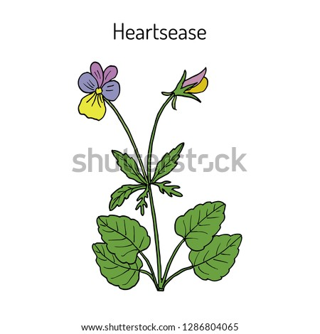 heartsease  viola tricolor   or