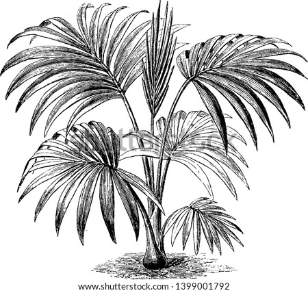Hedyscepe Canterburyana is a tall stove palm. The tree grows to be thirty two feet tall & is native to Lord Howe Island, Australia, vintage line drawing or engraving illustration.