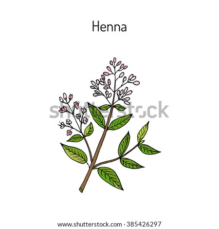 Henna Or Hina Henna Tree Mignonette Tree Egyptian Privet Hand