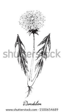 Herbal Flower and Plant, Hand Drawn Illustration of Fresh Dandelion or Taraxacum Us As A Food and Medicinal Herb.