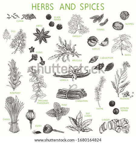 Herbs and spices hand drawn set, natural seasoning for cooking. Vector illustration, poster, collection for your design in vintage style.