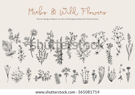 Herbs and Wild Flowers. Botany. Set. Vintage flowers. Black and white illustration in the style of engravings. #365081714