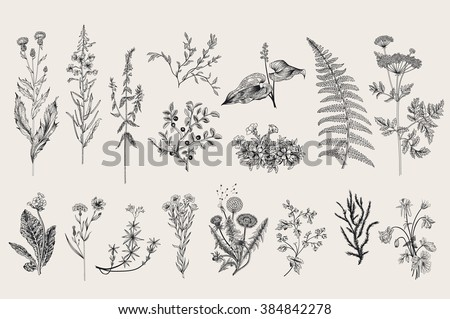 Herbs and Wild Flowers. Botany. Set. Vintage flowers. Black and white illustration in the style of engravings.
