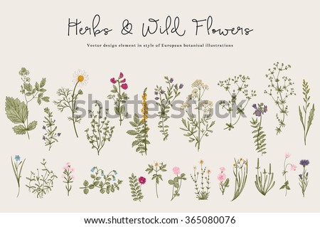 Herbs and Wild Flowers. Botany. Set. Vintage flowers. Colorful illustration in the style of engravings. #365080076
