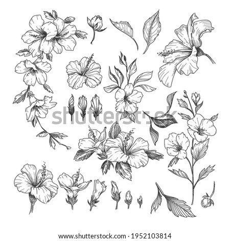 Hibiscus engraved illustrations set. Hand drawn sketch of exotic hibiscus flower, floral outline design isolated on white background. Hawaii, flowers, decoration concept