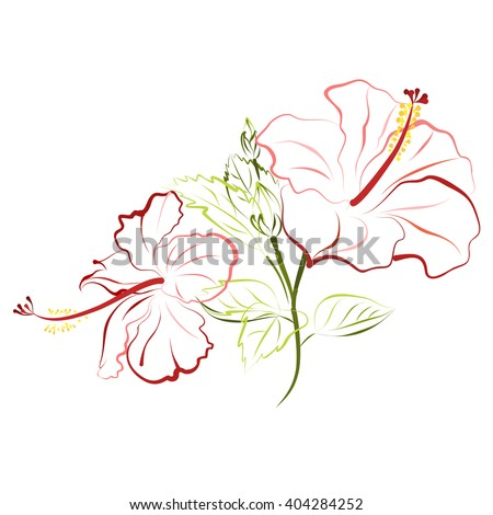 Hibiscus (shoe flower, china rose). Hand drawn vector illustration of hibiscus flowers on white background.
