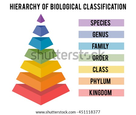 Hierarchy of biological classification. Major taxonomic ranks. Classification system by Carl Linnaeus