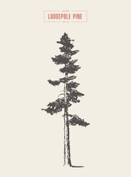 High detail vintage illustration of a lodgepole pine, hand drawn, vector