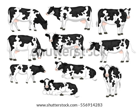 Holstein fresian black and white patched coat breed cattle set. Cows front, side view, walking, lying, grazing, eating, standing