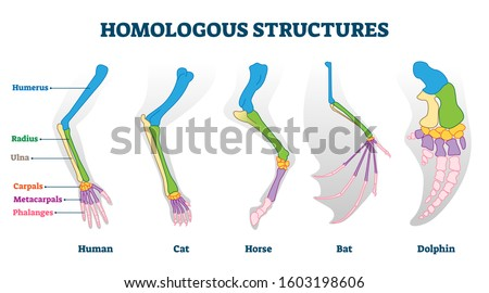 Homologous structures vector illustration. Biological species example scheme. Labeled structural diagram with bone titles. Humerus, ulna and carpals in various creature skeletons from common ancestry.