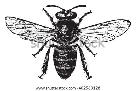 honey bee  vintage engraved