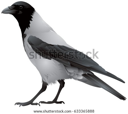 hooded crow bird  also known