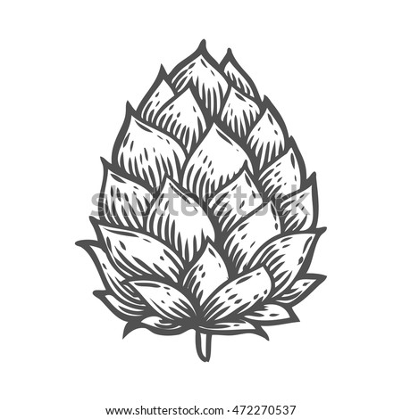 Shutterstock Hop organic herb plant which is used in the brewery of beer. For labels and packaging. Vector engraved illustration. Hand drawn hop Isolated on white background
