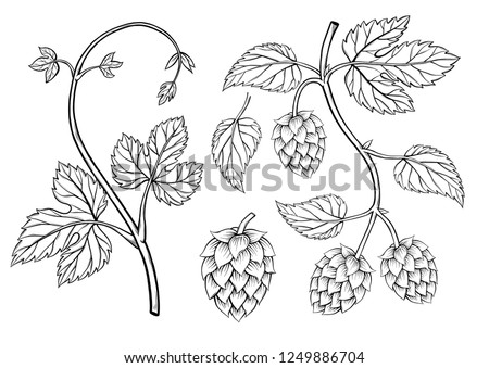 Hop plant, hop on a branch with leaves, hand drawn sketch style. Hops set. Beer hop