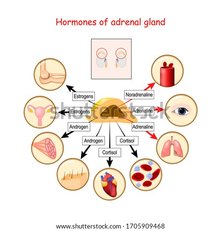 Hormones of adrenal gland and human organs that respond to hormones. cortisol, androgen, adrenaline, noradrenaline, and estrogens. Vector illustration for medical, education and science use Foto d'archivio ©