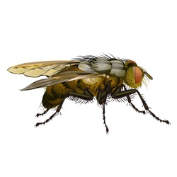 House fly insect vector illustration isolated on white
