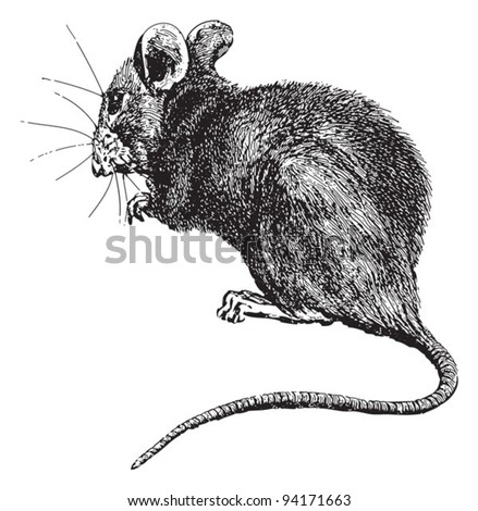 House mouse (Mus musculus) / vintage illustration from Meyers Konversations-Lexikon 1897