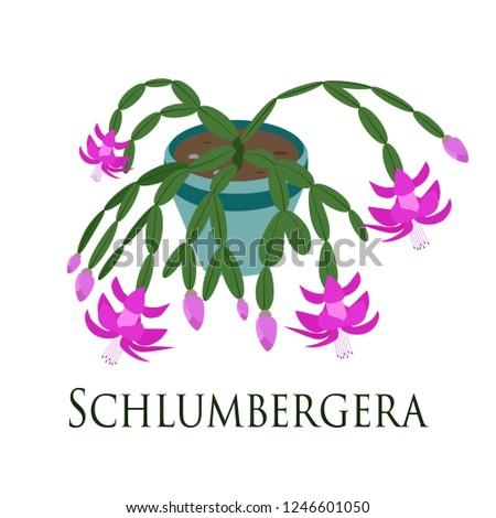 house plant schlumbergera potted. Flat design. Vector illustration.