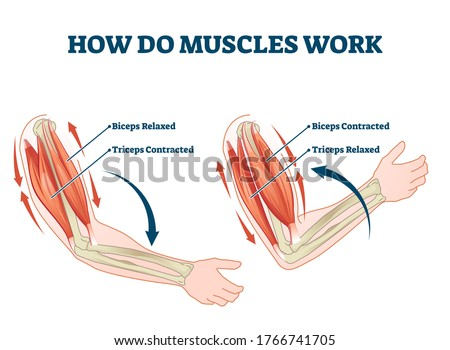 How do muscles work labeled principle explanation scheme vector illustration. Anatomical and physical movement process example with biceps relaxed and triceps contracted. Educational comparison graph. ストックフォト ©