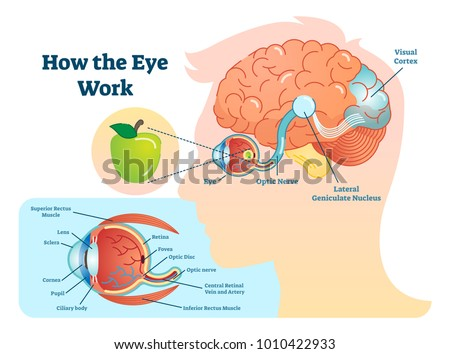 How eye work medical illustration, eye - brain diagram, eye structure and connection with brains. Vector EPS10