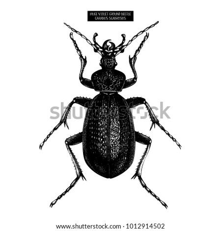 Huge Violet Ground Beetle hand drawn Illustration.   Vintage illustrations of black bug sketch on white background. Vector insects collection