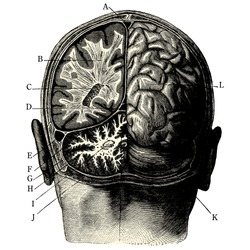 Humain brain -vintage engraved illustration -