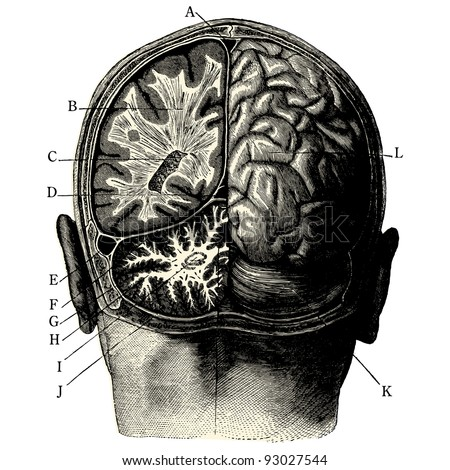 humain brain  vintage engraved
