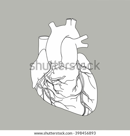 Human anatomical heart vector. Real heart vector